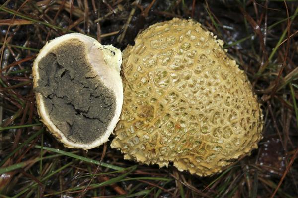 MNA Whixall Moss Earthball1