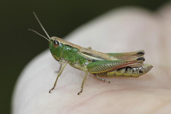 MNA Whixall Moss Grasshopper1