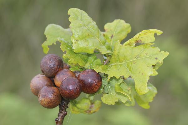 MNA Whixall Moss Oak Galls1