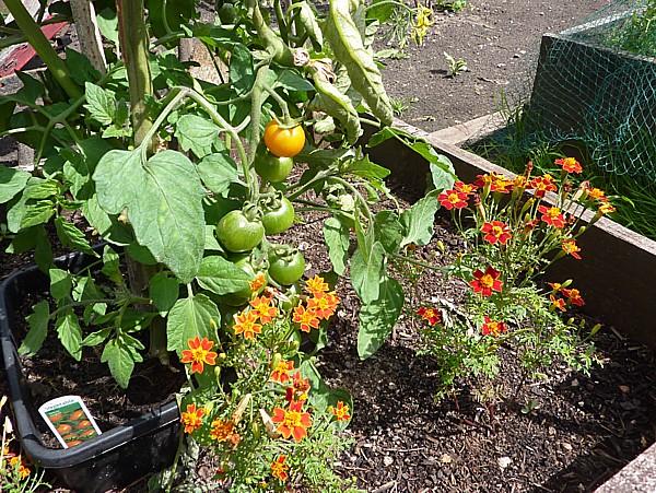 32 Speke tomatoes and marigolds