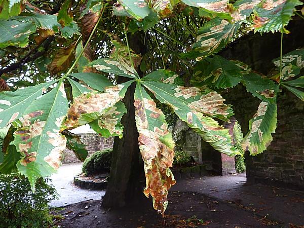 33 Reynolds Hose chestnut infestation
