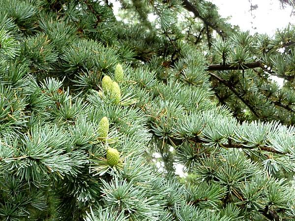 33 Reynolds blue cedar