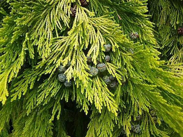 33 Reynolds golden cypress