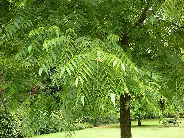 33 Reynolds not Tree of Heaven