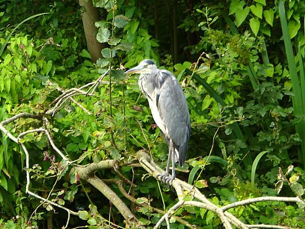 34 SU canal Heron