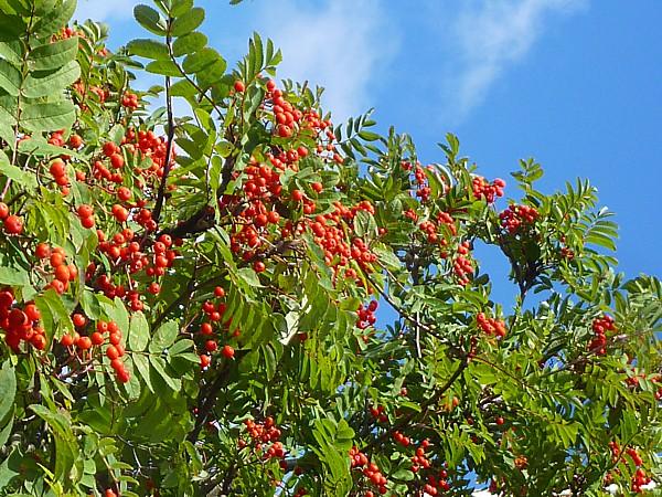 34 SU canal Rowan berries