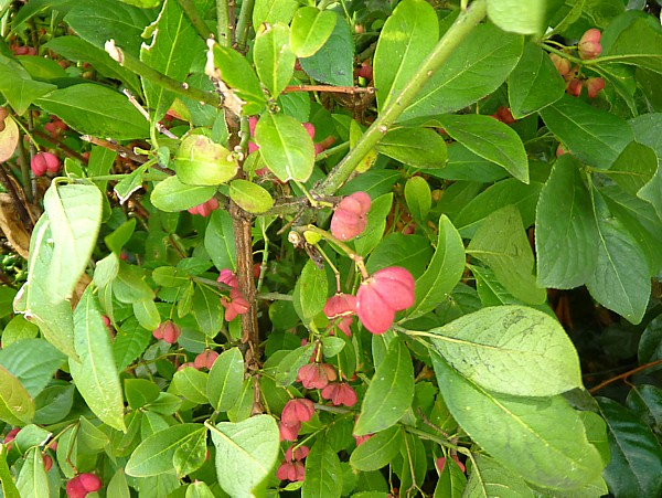34 SU canal Spindle fruit