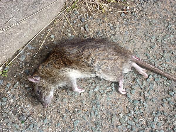 34 SU canal dead rat