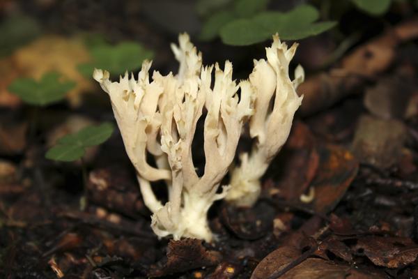 MNA Bolton Abbey Coral Fungus1