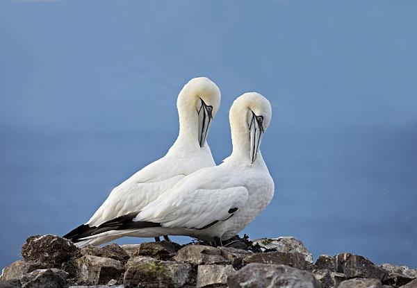 05 Gannets