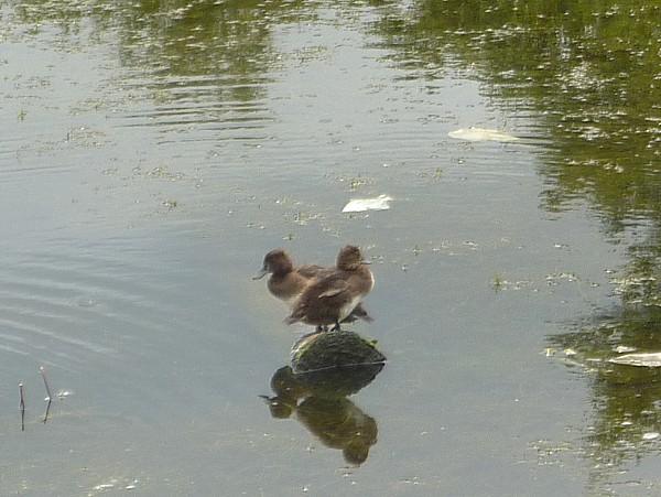 36 Taylor ducks on a rock