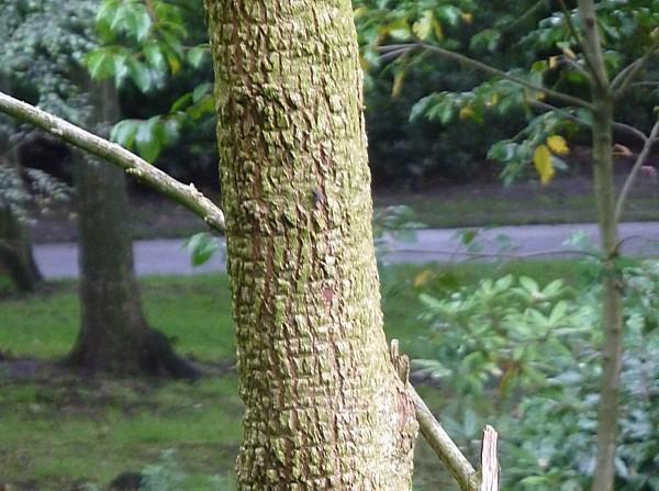 36 Taylor tree 2 bark