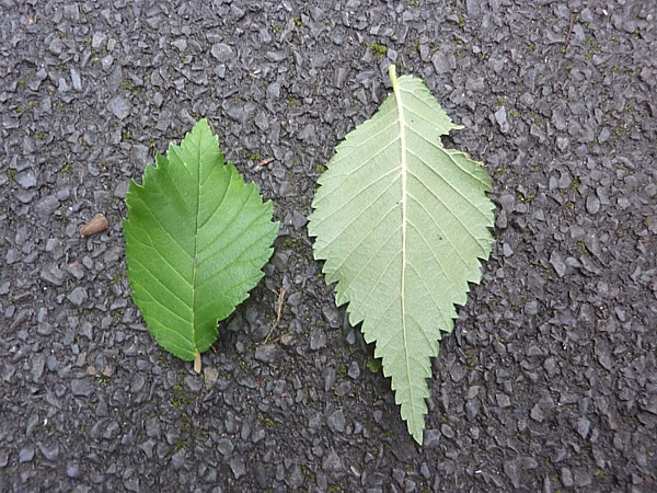 36 Taylor tree 2 elm leaves