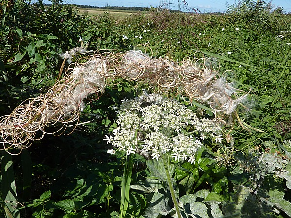 37 Lydiate hogweed and willow herb seeds
