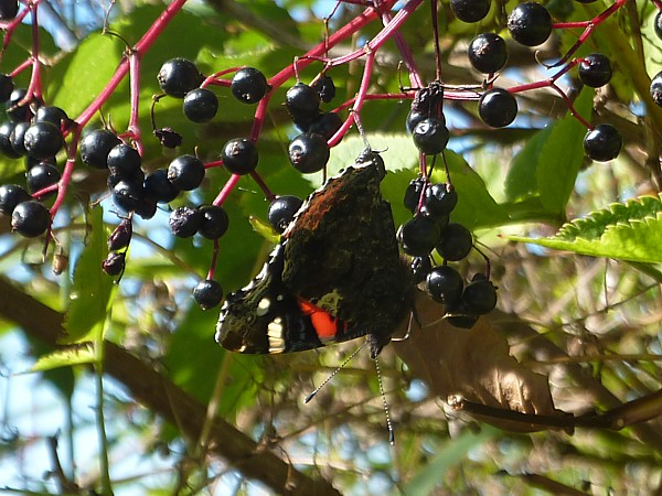 37 Lydiate red admiral