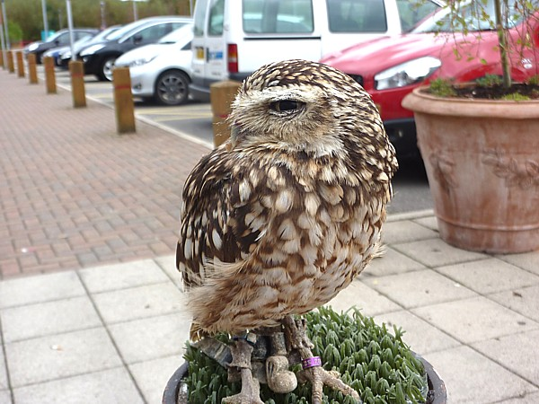 38 Town Lane Burrowing Owl