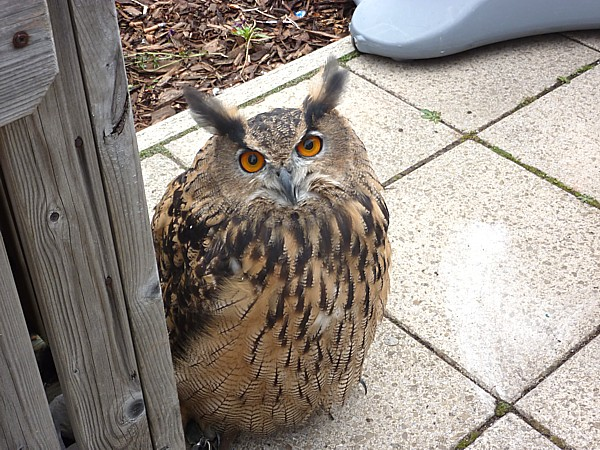 38 Town Lane Eagle Owl