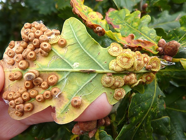38 Town Lane oak galls