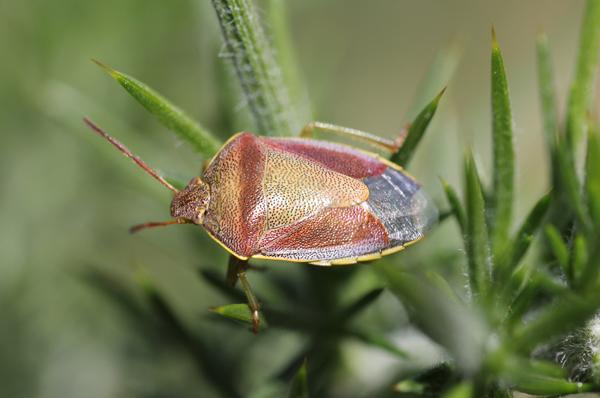 MNA Dune Heath Gorse Shieldbug