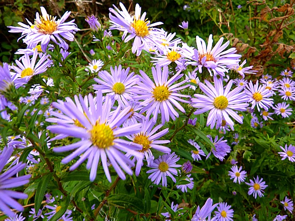 39 Sunlight Michaelmas daisies