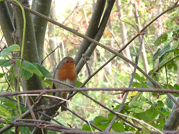 39 Sunlight Robin