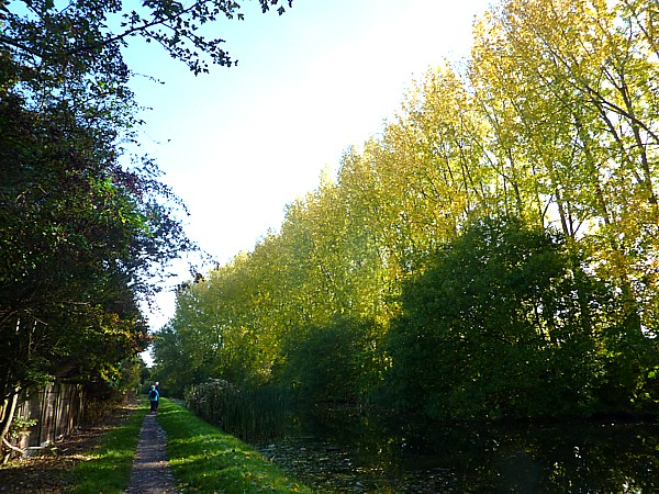 40 Maghull Canal Poplars