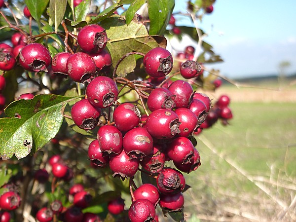 40 Maghull Hawthorn berries