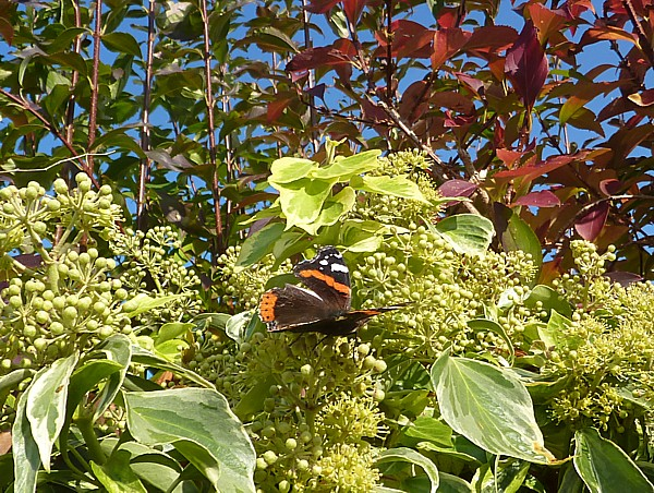 40 Maghull Red Admiral