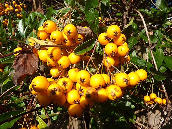 40 Maghull golden cotoneaster