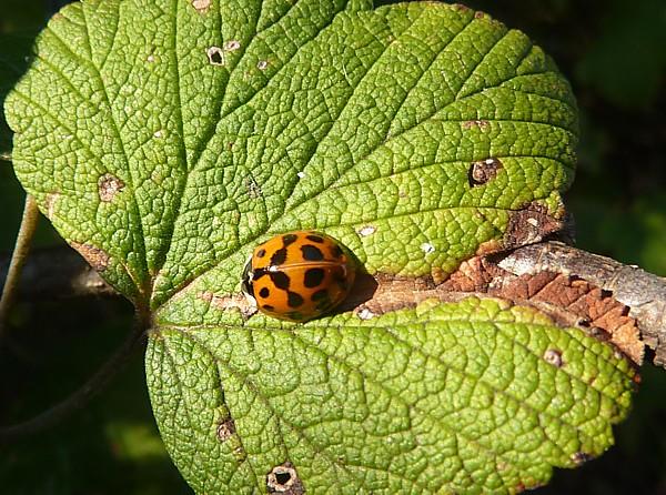 40 Maghull ladybird