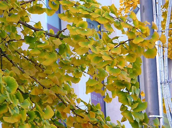 41 Ainsdale Gingko leaves