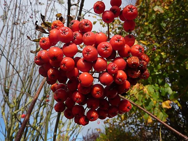 41 Ainsdale Rowan berries