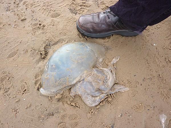 42 West Kirby jellyfish