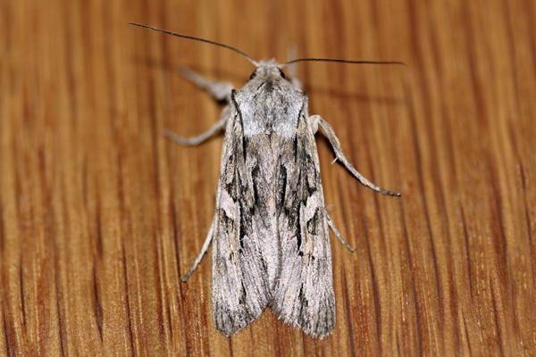 MNA Blairs Shoulder Knot Moth1