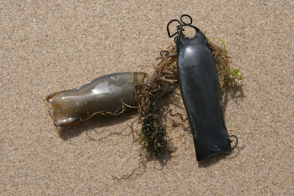 MNA Mermaids Purse Dogfish1
