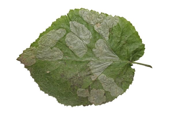 MNA Nut Leaf Blister Miner1