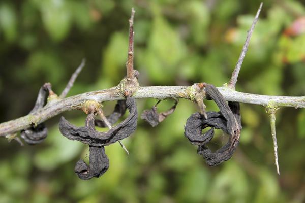 MNA Old Moor Pocket Plums1