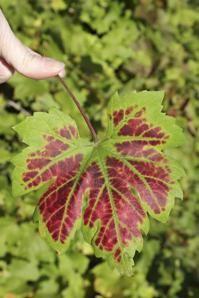 MNA Old Moor Vine Leaf1