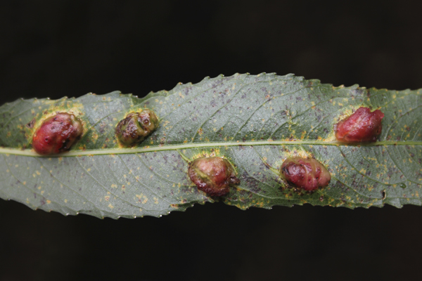 MNA Old Moor Willow Gall1