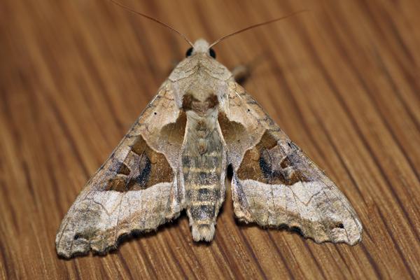 MNA Toxteth Angle Shades Moth1