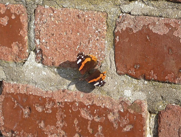 43 Waterloo Red Admiral