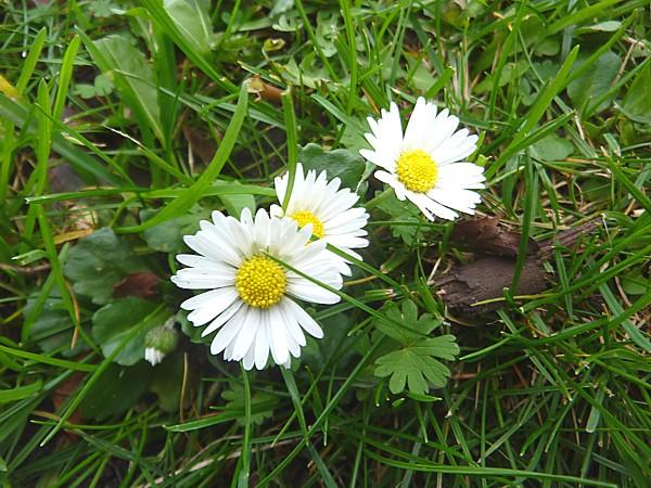 43 Waterloo daisies