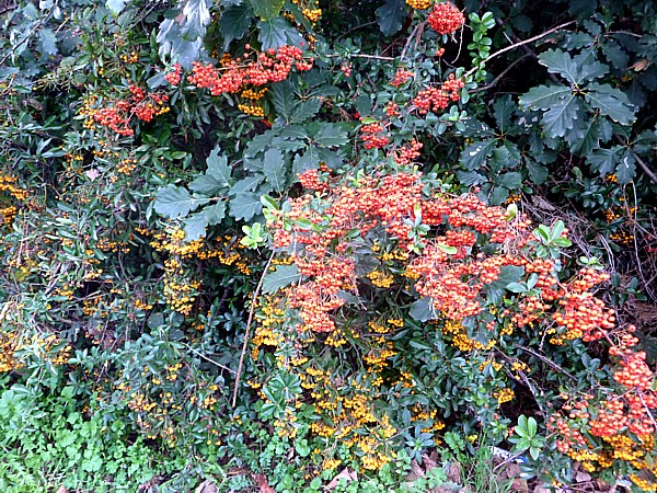 43 Waterloo pyracantha berries