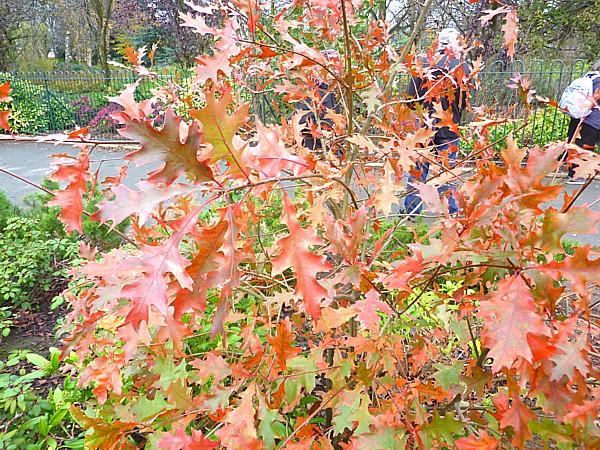 44 Stanley Pin Oak