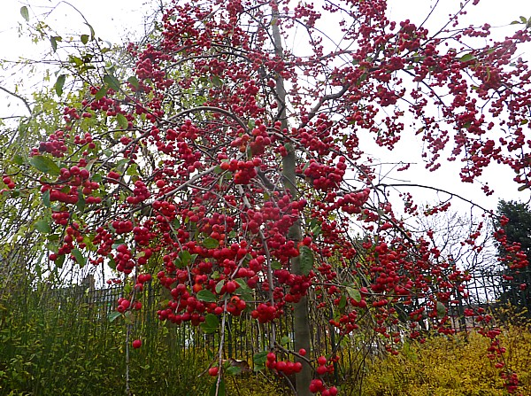 44 Stanley crab apples