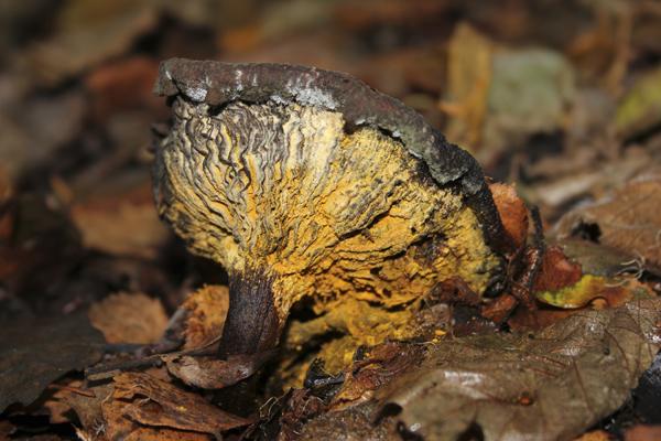 MNA Leighton Moss Decomposing Lactarius1