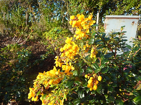 45 Southport Berberis flowers