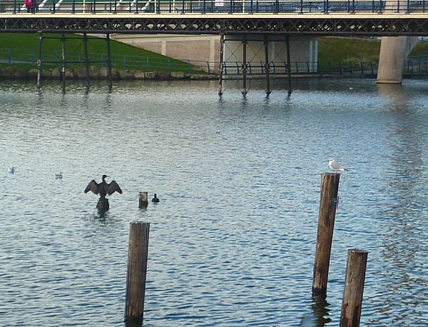 45 Southport Cormorant