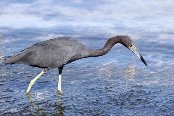 MNA Belize Blue Heron1