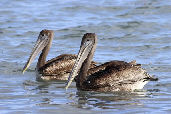 MNA Belize Brown Pelican1